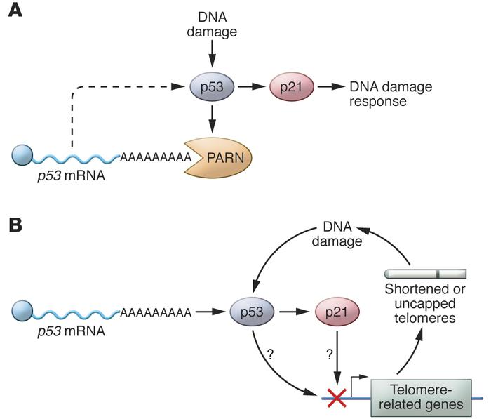 Possible effects of PARN depletion on telomeres. (A) DNA damage in repli...