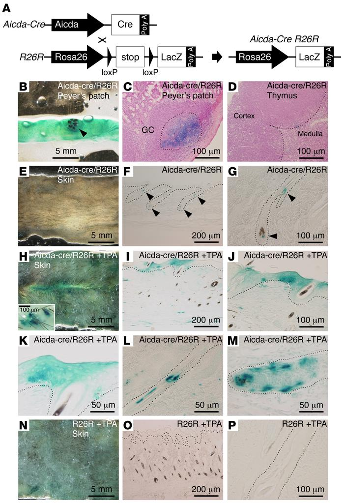 AID fate mapping in TPA-treated skin from Aicda-Cre R26R double-Tg mice....