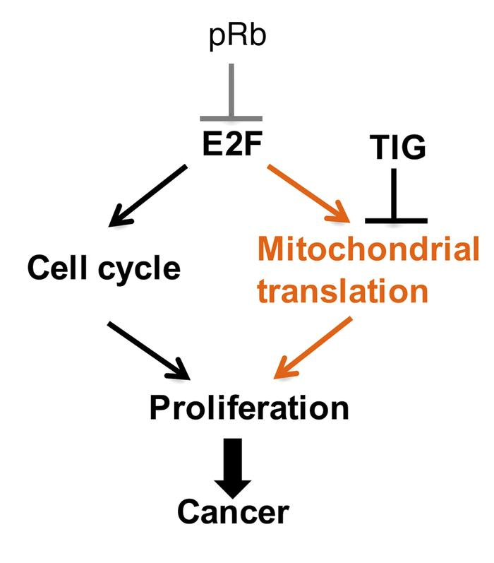 RB1 loss/induction of E2F1 promotes proliferation of TNBC cells by trans...