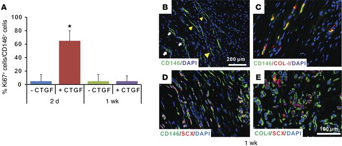 Proliferation and differentiation of CD146+ cells in vivo tendon healing...