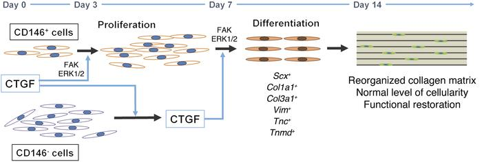 Tendon healing process by CTGF and endogenous CD146+ TSCs. Our data coll...