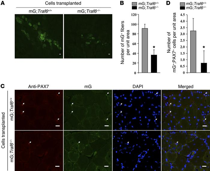 TRAF6 is required for satellite cell proliferation and self-renewal foll...