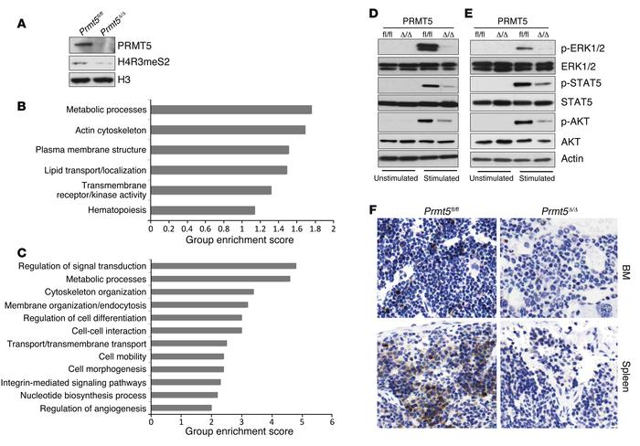 Impaired cytokine signaling pathways in PRMT5-deficient BM cells. (A) HS...