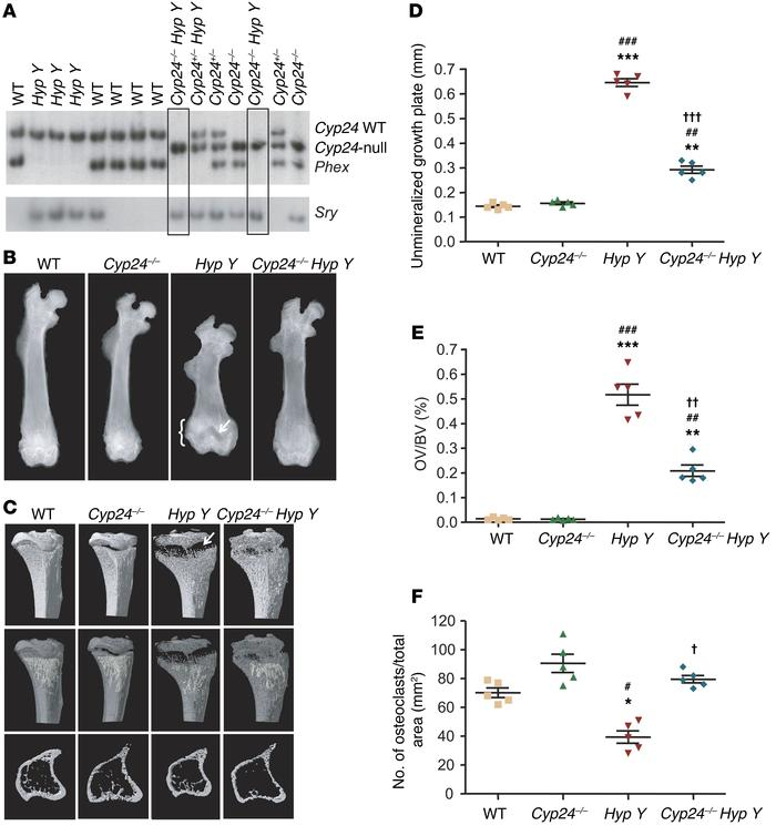 Generation of Cyp24–/– Hyp Y mice and bone morphology. (A). Southern blo...