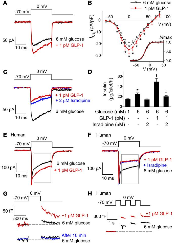 Stimulatory effects of low concentrations of GLP-1 depend on L-type Ca2+...