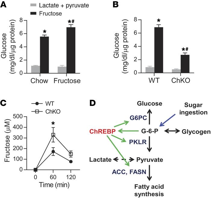 ChREBP mediates the conversion of fructose to glucose. We measured accum...