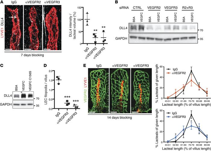 DLL4 expression is dependent on active VEGFR3 and VEGFR2 signaling. (A) ...