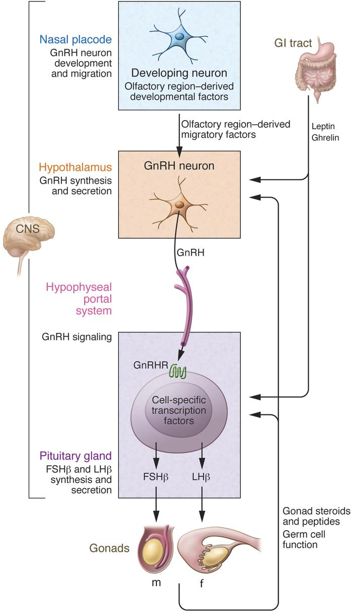 The cascade of reproductive axis signal amplification initiated by GnRH ...