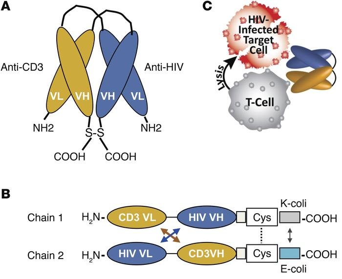 HIVxCD3 DART structure. (A and B) These DART molecules contain an anti–H...