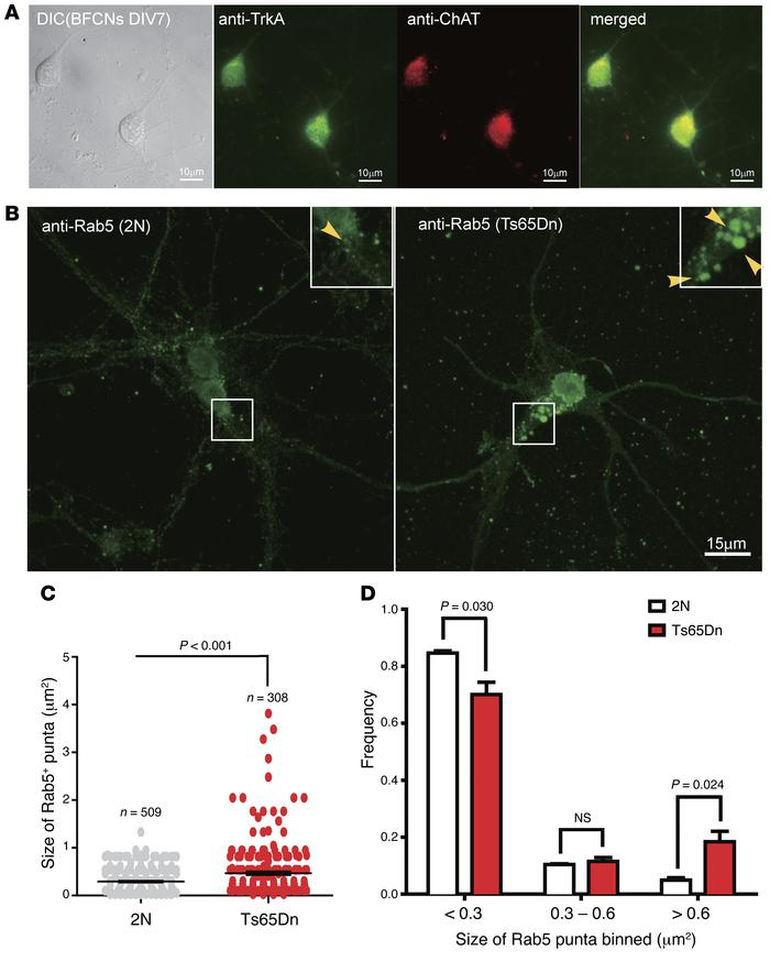 Rab5+ early endosomes were enlarged in primary BFCNs of Ts65Dn mice. (A)...
