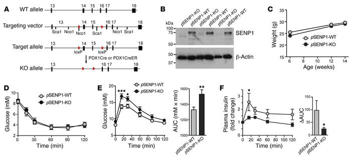 Pancreatic islet–selective knockout of Senp1 in mice results in impaired...