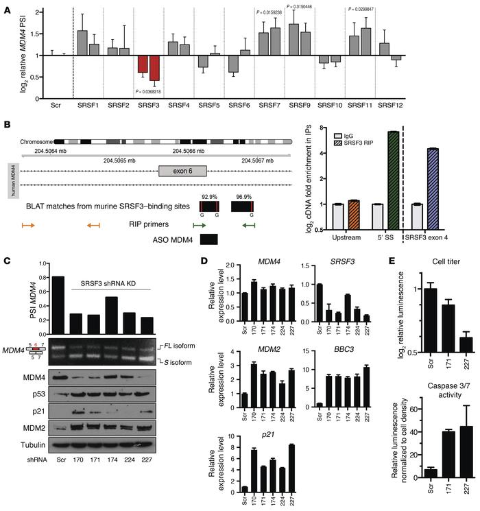 SRSF3 is required for efficient inclusion of MDM4 exon 6 and melanoma gr...