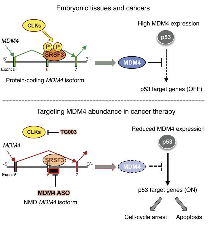 Targeting MDM4 splicing in cancer therapy. Whereas MDM4 is unproductivel...