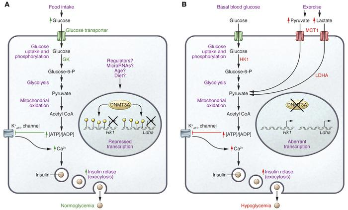 DNMT3A mediates repression of genes that disrupt normal glucose-regulate...