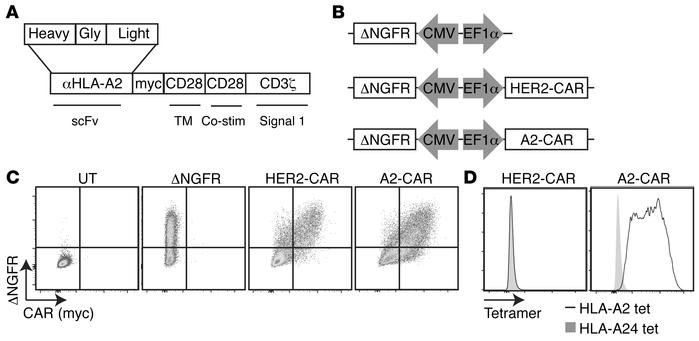 Construction, expression, and antigen specificity of an HLA-A2–specific ...