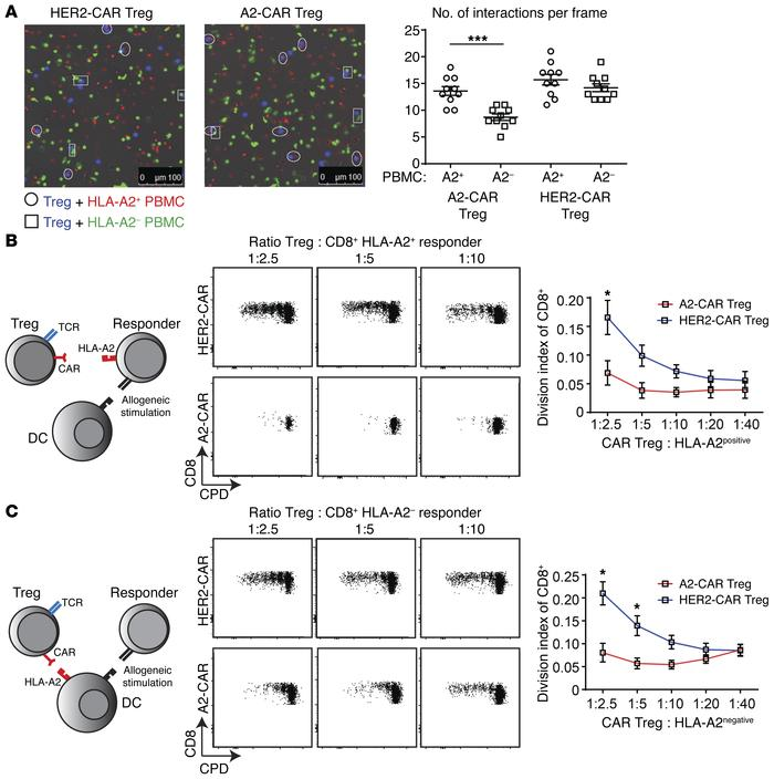 A2-CAR Tregs preferentially interact with HLA-A2+ PBMCs and are superior...