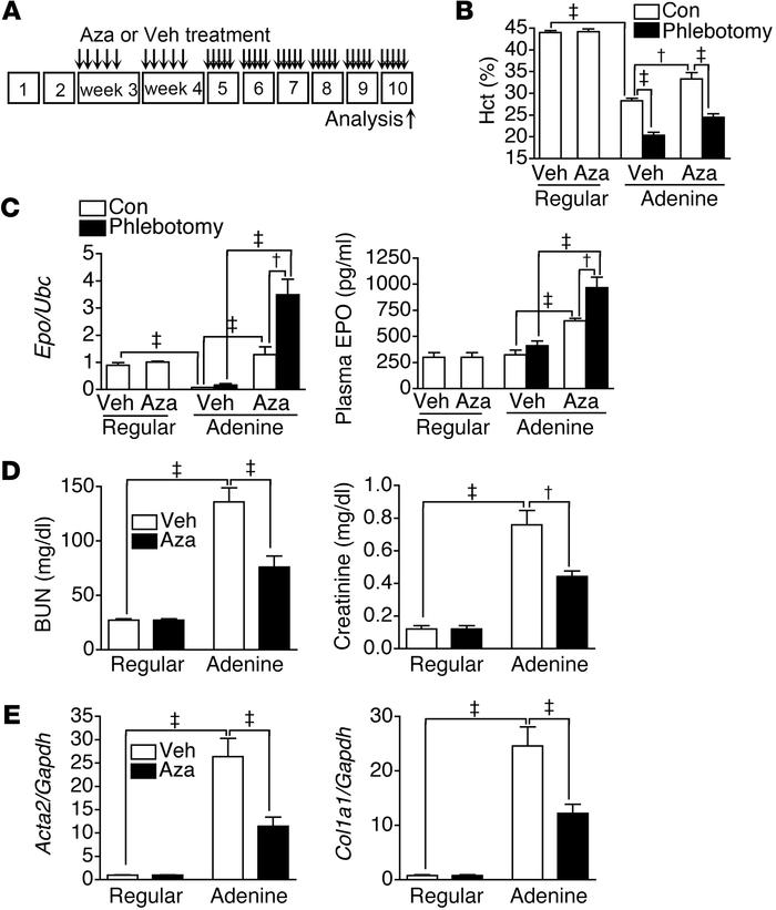 Aza restores EPO expression and ameliorates anemia in an adenine-induced...