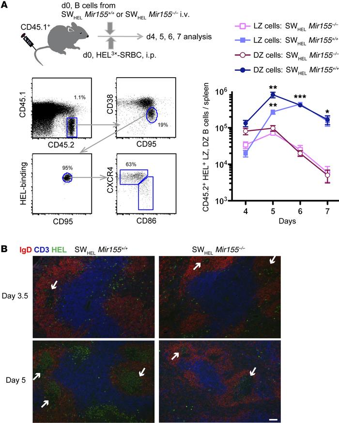 miR-155 in B cells is required for the maintenance of the GC response. S...