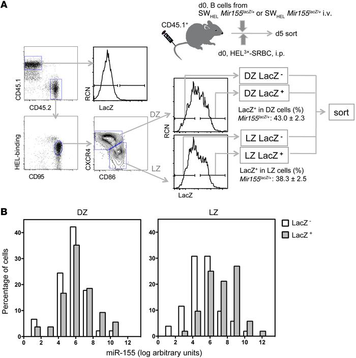A subset of LZ B cells highly expresses miR-155. SWHEL Mir155LacZ/+ B ce...