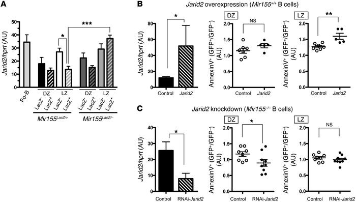 The miR-155 target gene Jarid2 regulates the apoptosis of GC B cells. (A...
