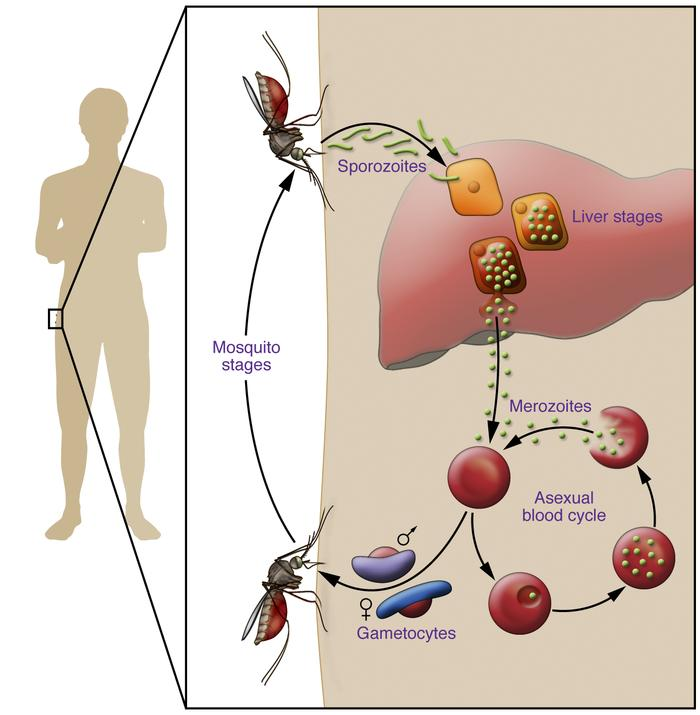 The Plasmodium parasite life cycle in humans. Mosquitoes carrying Plasmo...