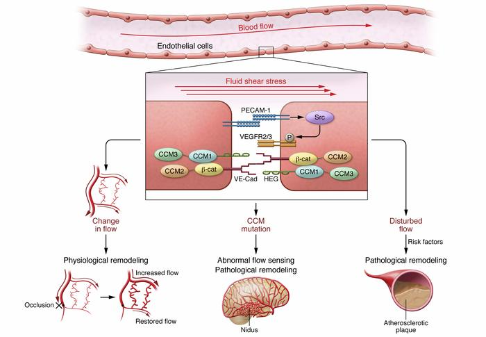 Fluid shear stress sensing in physiological and pathological vascular re...