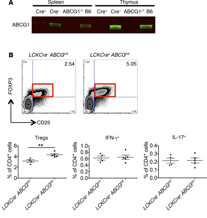 Tregs are increased in mice with T cell–specific deficiency of ABCG1. (A...