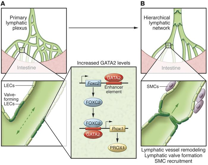 Mechanism of flow-dependent lymphatic vessel remodeling and valve format...