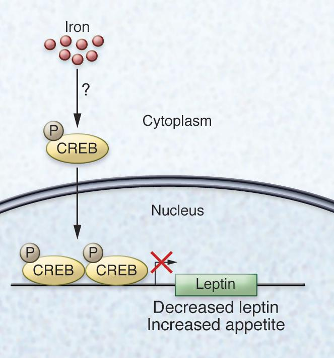 The transcription factor CREB connects iron status to leptin expression ...
