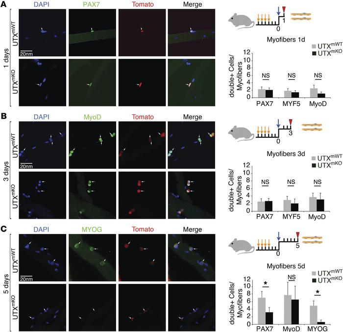 Terminal differentiation of SC-derived myoblasts is impaired in UTXmKO m...