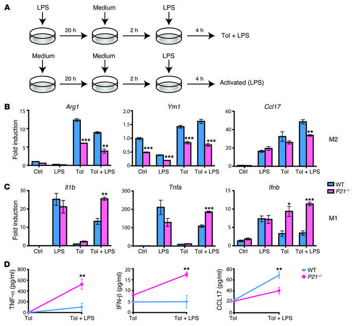 P21–/– macrophages show impaired ability to polarize to M2 cells during...
