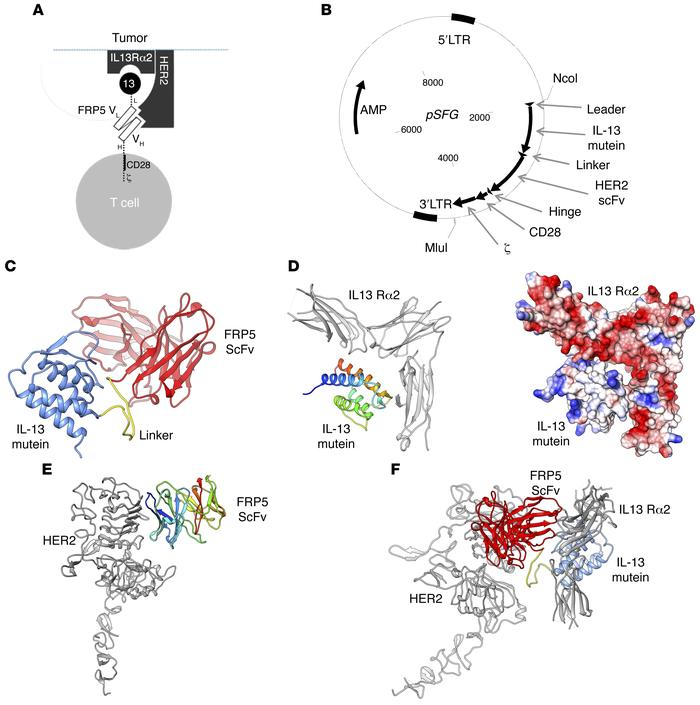 The HER2/IL13Rα2 tandem CAR (TanCAR) structure, its encoding transgene, ...