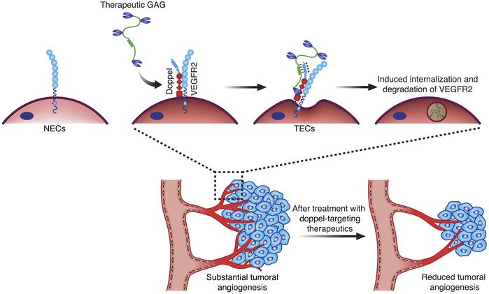 Strategy for targeting doppel-expressing angiogenic tumors. GAG-based th...