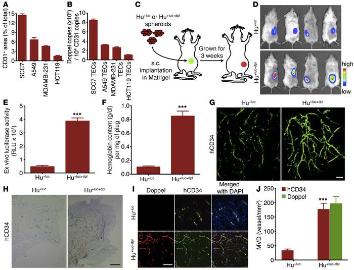 Increased doppel expression increases tumoral angiogenesis and EC functi...