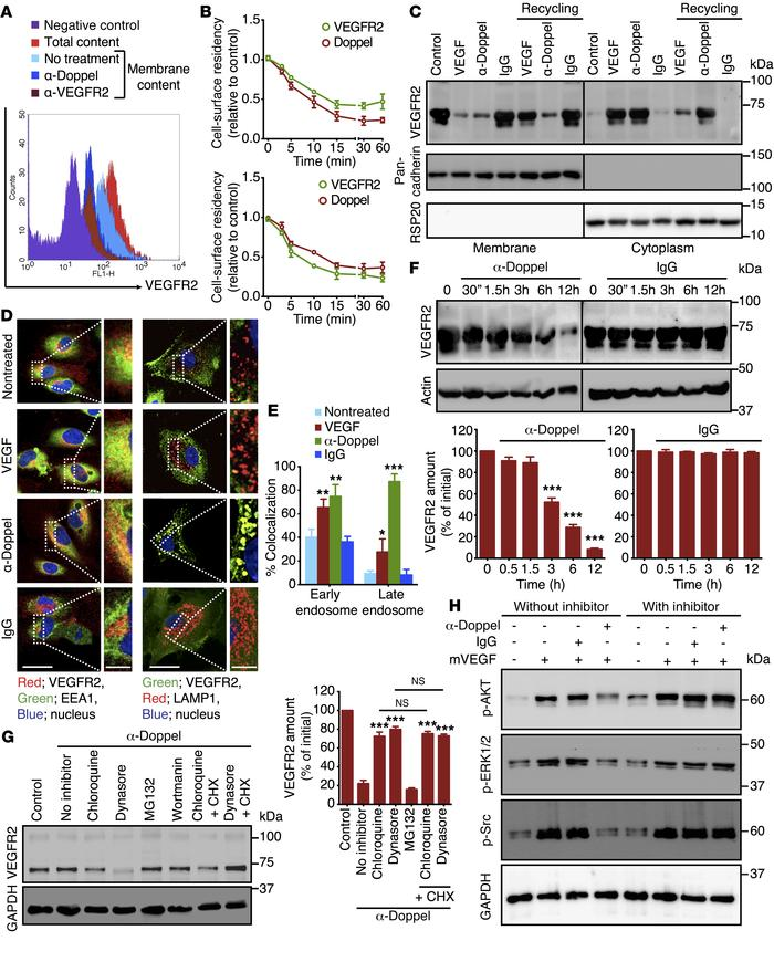 Doppel inhibition spatially regulates the VEGFR2 internalization process...