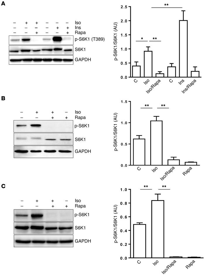 βAR activation of mTORC1 in adipocytes. (A–C) 3T3-L1 adipocytes were pre...