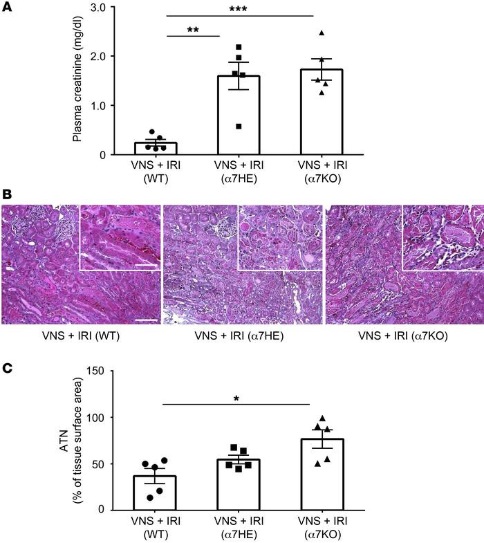 Protection against IRI by VNS is absent in α7 KO mice. WT (progeny contr...
