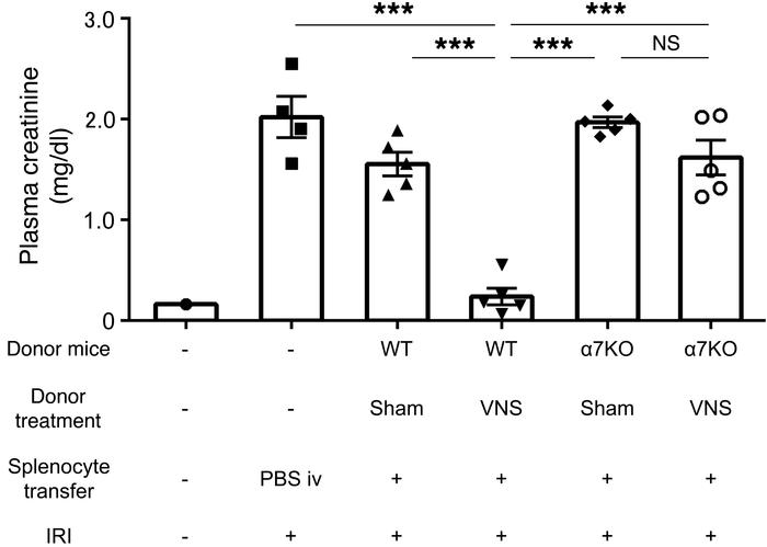 Protective effect of adoptively transferred splenocytes from VNS-treated...