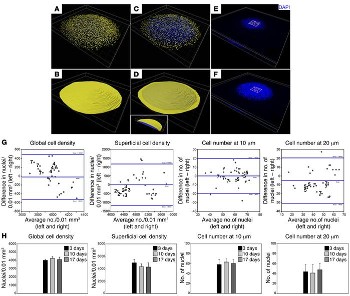 Measuring chondrocyte density and number. (A–F) 3D reconstructed images ...