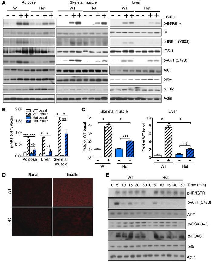 p85WT/R649W mice display impaired insulin signaling in vivo. (A) Analysi...