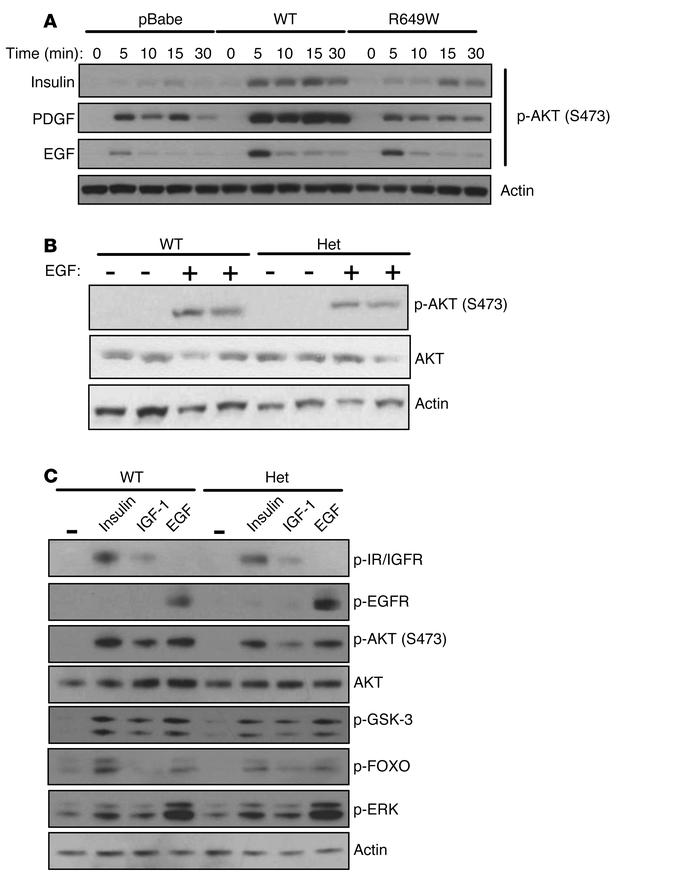 The R649W mutant confers resistance to several growth factors. (A) AKT p...