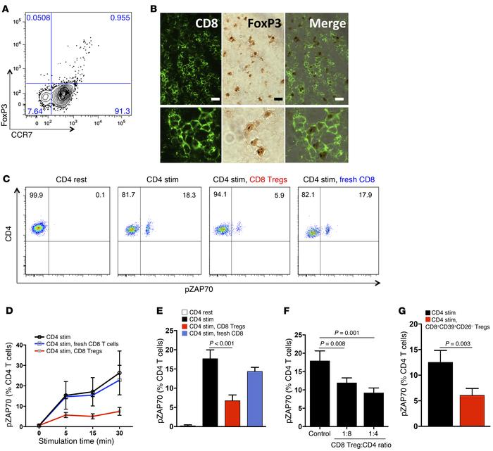 CD8 Tregs express CCR7, home to secondary lymphoid tissues, and suppress...