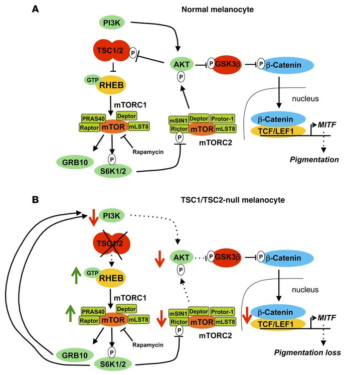 Model of interactions in mTOR signaling in normal and TSC melanocytes. (...