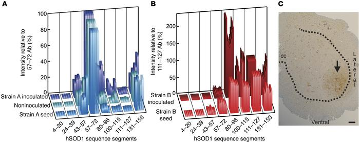 Epitope-mapping patterns of seeds and aggregates formed in inoculated mi...