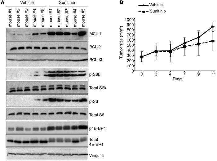 Sunitinib enhances MCL-1 levels and mTOR signaling in vivo. (A) Immunobl...