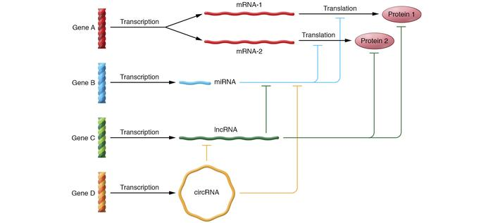 The complexity of noncoding RNA gene networks. In this scenario, four ge...