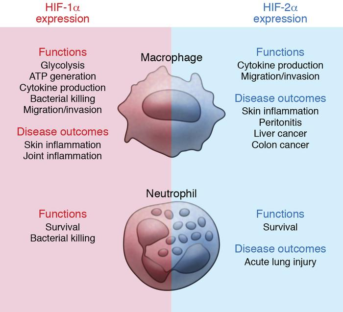Overview of the roles of HIF-1α and HIF-2α in myeloid cells. Both HIF-1α...