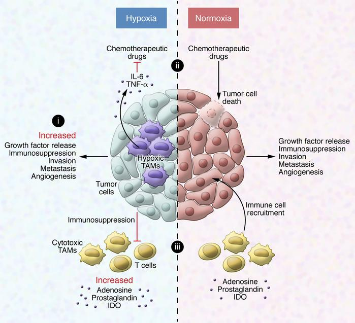 Hypoxic regulation of TAMs in cancer progression and therapy. (i) Hypoxi...