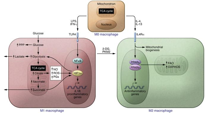 Metabolic reprogramming in macrophage polarization. LPS and IFN-γ induce...