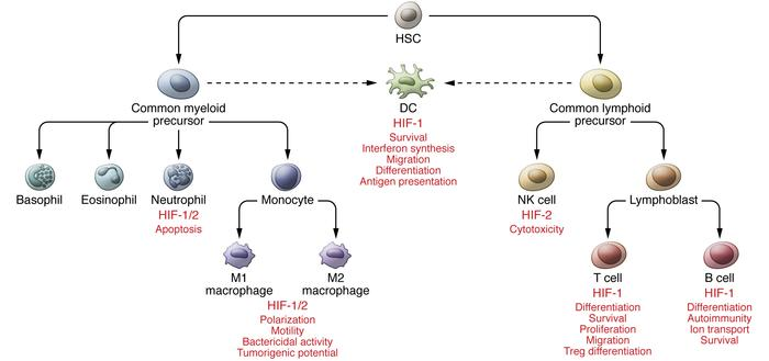 Regulation of immune cells by HIFs. Functional immune cells differentiat...